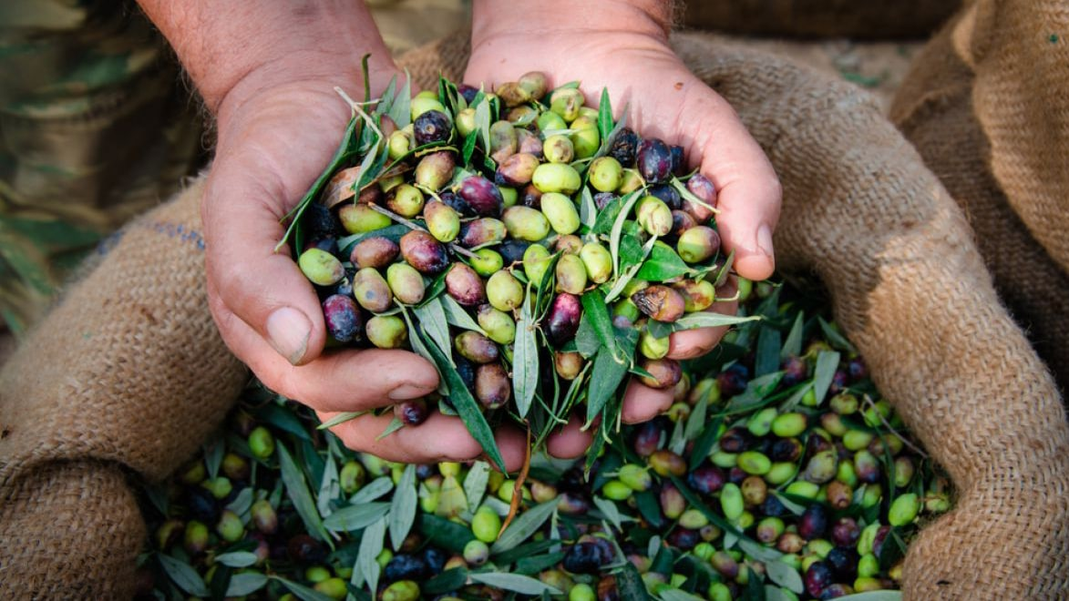 Holar - Blog - Fake Olive Oil vs. Original Olive Oil - 5 Things You Should Know